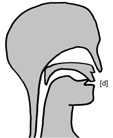 Artikulation des stimmhaften Zahn-Verschlusslauts