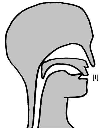 Artikulation des stimmlosen Zahn-Verschlusslauts